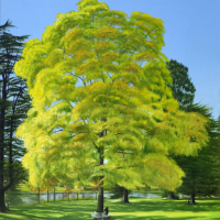 Black Walnut Tree – Caversham Court – Reading Guild of Artists – Michael Norcross