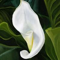 Arum Lily Unfurling – Botanical Art – Berkshire Artist Kerry Webb